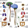 Sistema nervioso simpático y parasimpático