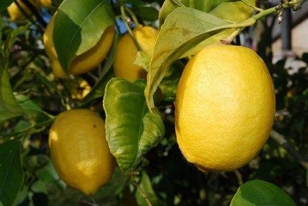 Los limones, un antibiótico natural