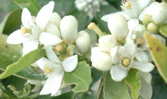 230-plantas-medicinales-mas-efectivas-y-sus-azahara-flor
