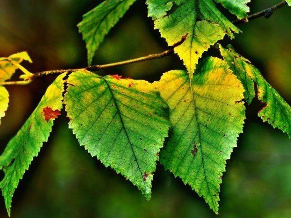 230-plantas-medicinales-mas-efectivas-y-sus-usos-abedul-hojas