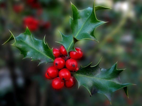 230-plantas-medicinales-mas-efectivas-y-sus-usos-acebo
