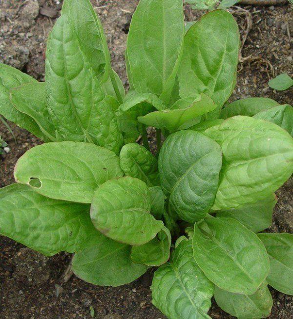 230-plantas-medicinales-mas-efectivas-y-sus-usos-acedera