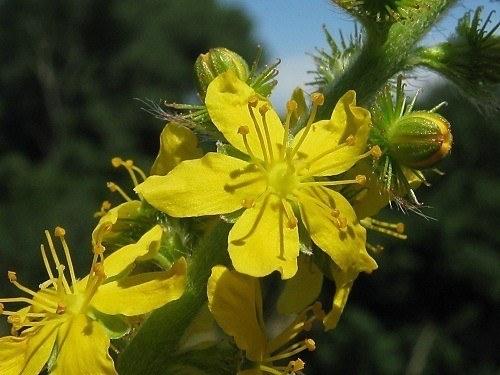 230-plantas-medicinales-mas-efectivas-y-sus-usos-agrimonia-planta