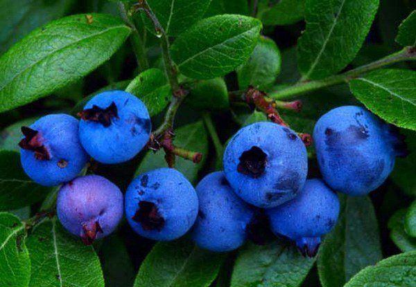 230-plantas-medicinales-mas-efectivas-y-sus-usos-arandano-hojas