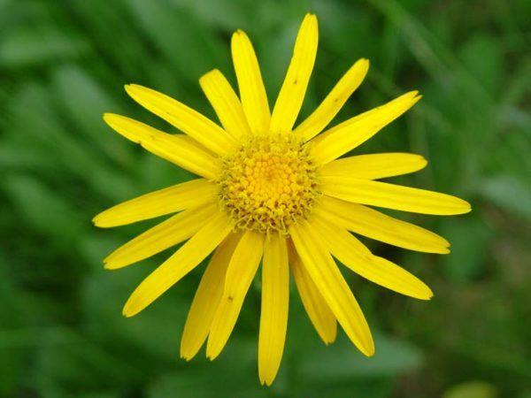 230-plantas-medicinales-mas-efectivas-y-sus-usos-arnica-flor