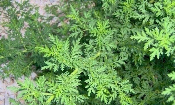 230-plantas-medicinales-mas-efectivas-y-sus-usos-artemisa-planta