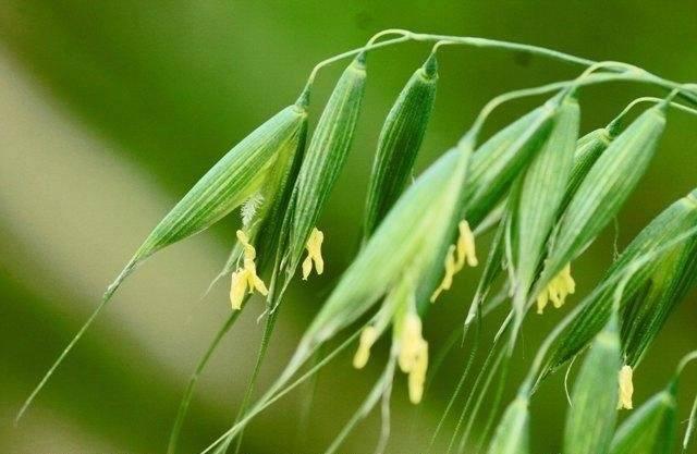 230-plantas-medicinales-mas-efectivas-y-sus-usos-avena-sativa-planta