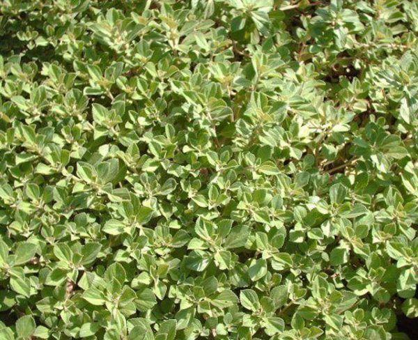 230-plantas-medicinales-mas-efectivas-y-sus-usos-boldo-hojas-seleccionadas