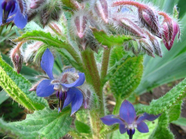230-plantas-medicinales-mas-efectivas-y-sus-usos-borraja-planta