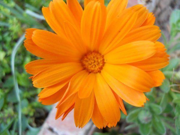 230-plantas-medicinales-mas-efectivas-y-sus-usos-calendula-flor
