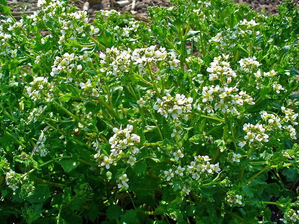 230-plantas-medicinales-mas-efectivas-y-sus-usos-coclearia-planta