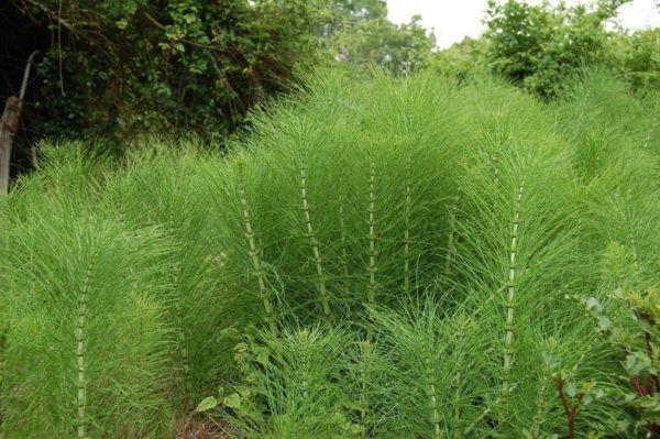 230-plantas-medicinales-mas-efectivas-y-sus-usos-cola-de-caballo-planta