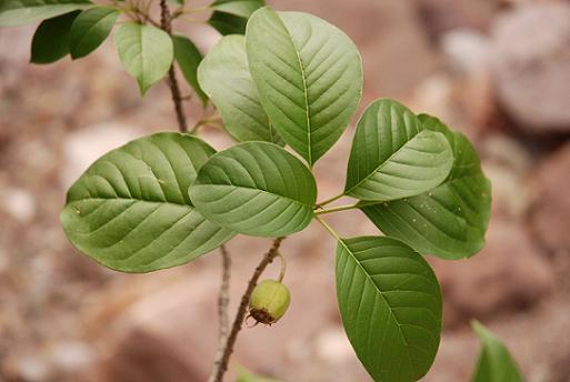 230-plantas-medicinales-mas-efectivas-y-sus-usos-copalchi-cortezas