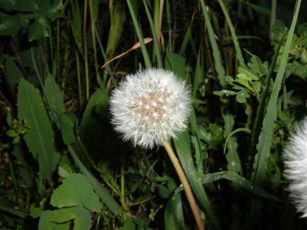 230-plantas-medicinales-mas-efectivas-y-sus-usos-diente-de-leon-planta