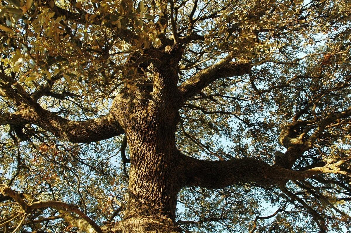230-plantas-medicinales-mas-efectivas-y-sus-usos-encina-corteza