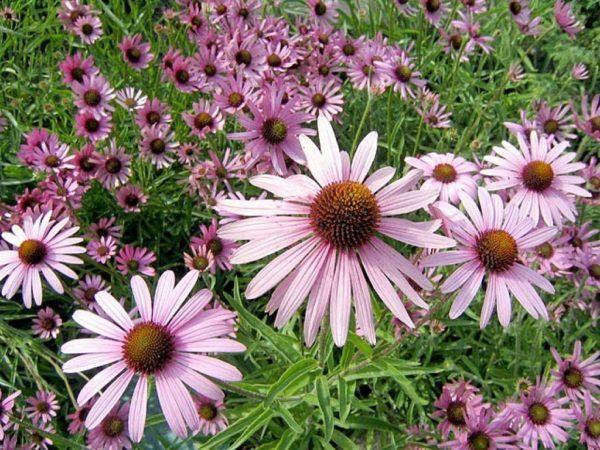 De 230 plantas medicinales efectivas y sus usos for Plantas ornamentales y medicinales