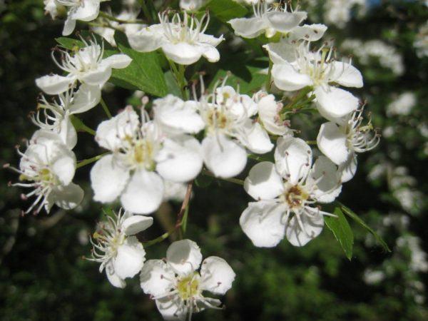 230-plantas-medicinales-mas-efectivas-y-sus-usos-espino-blanco