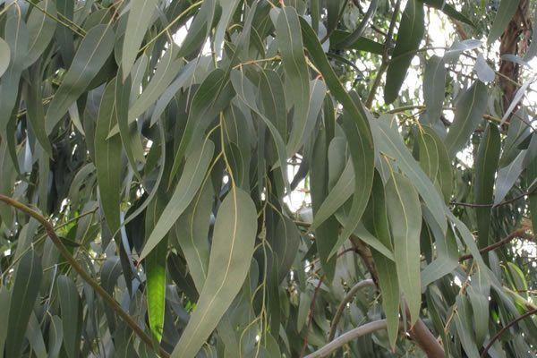 230-plantas-medicinales-mas-efectivas-y-sus-usos-eucalipto