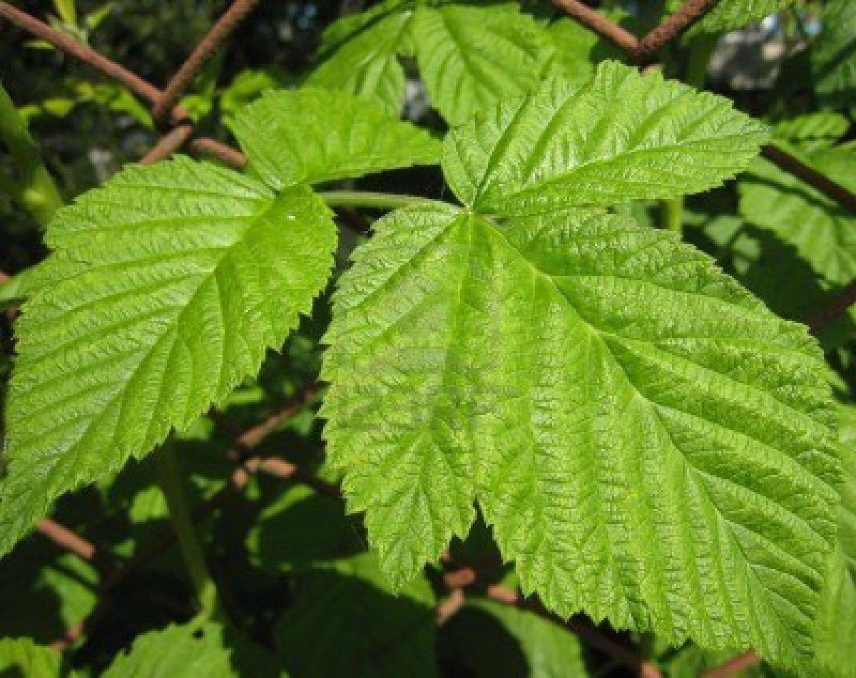 230-plantas-medicinales-mas-efectivas-y-sus-usos-frambuesa-hojas
