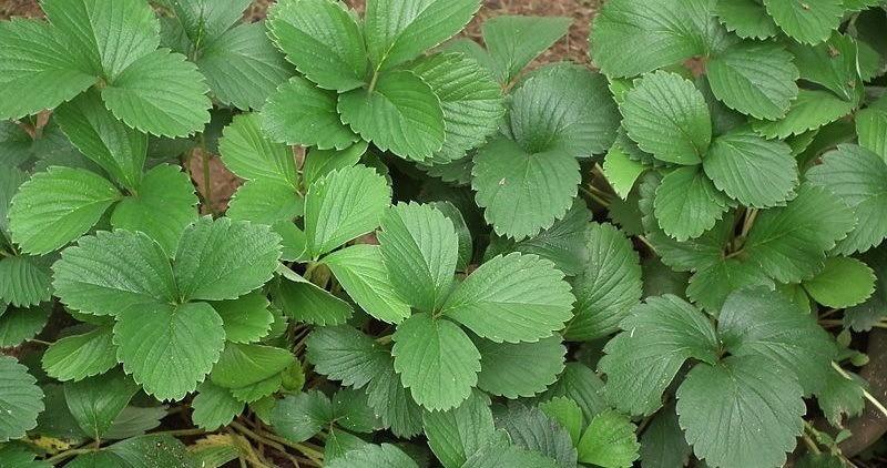 230-plantas-medicinales-mas-efectivas-y-sus-usos-fresa-hojas