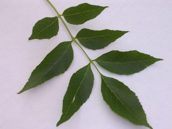 230-plantas-medicinales-mas-efectivas-y-sus-usos-fresno-hojas