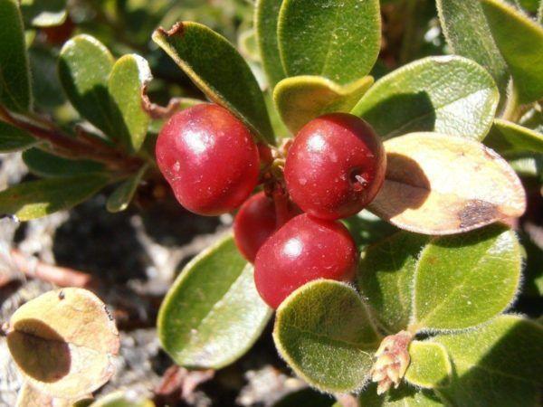 230-plantas-medicinales-mas-efectivas-y-sus-usos-gayuba-hojas
