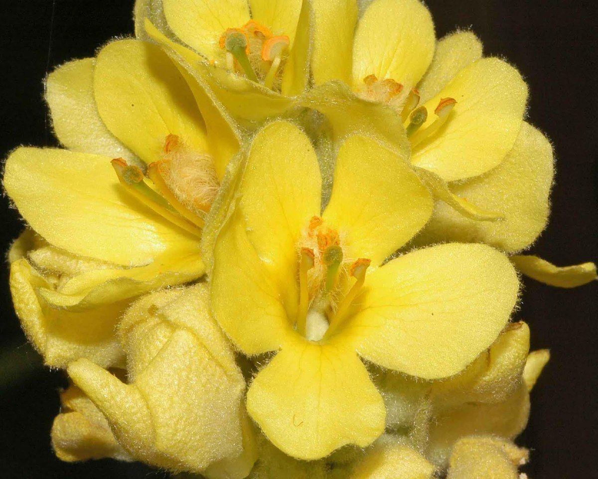 230-plantas-medicinales-mas-efectivas-y-sus-usos-gordolobo-hojas