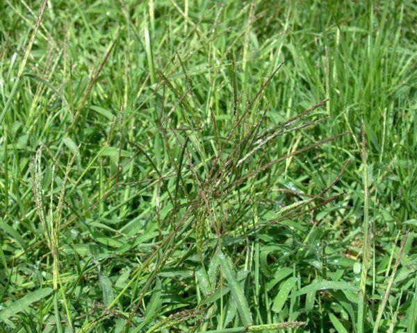 230-plantas-medicinales-mas-efectivas-y-sus-usos-grama-raiz