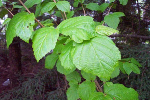 230-plantas-medicinales-mas-efectivas-y-sus-usos-hamamelis-hojas