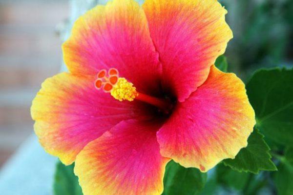 230-plantas-medicinales-mas-efectivas-y-sus-usos-hibisco-flor