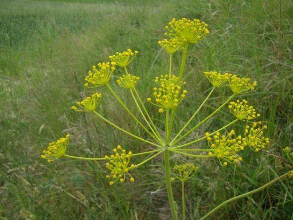230-plantas-medicinales-mas-efectivas-y-sus-usos-hinojo-planta