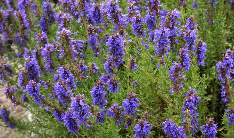 230-plantas-medicinales-mas-efectivas-y-sus-usos-hisopo-planta