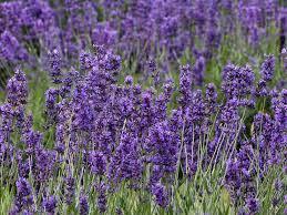 230-plantas-medicinales-mas-efectivas-y-sus-usos-lavanda