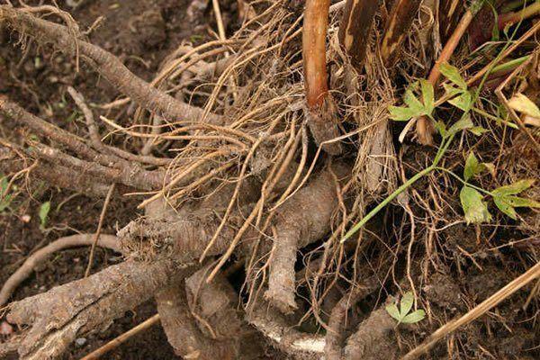 230-plantas-medicinales-mas-efectivas-y-sus-usos-levistico-raiz