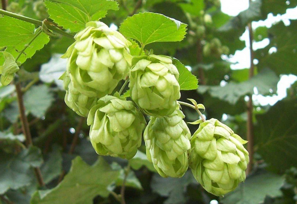230-plantas-medicinales-mas-efectivas-y-sus-usos-lupulo-de-cono