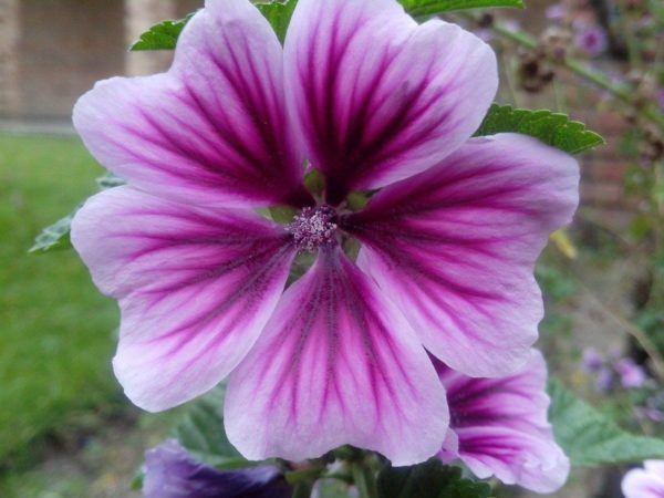 230-plantas-medicinales-mas-efectivas-y-sus-usos-malva-flor