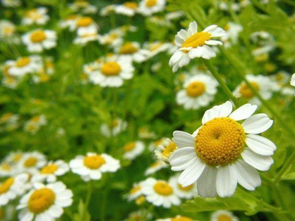 230-plantas-medicinales-mas-efectivas-y-sus-usos-manzanilla-flor