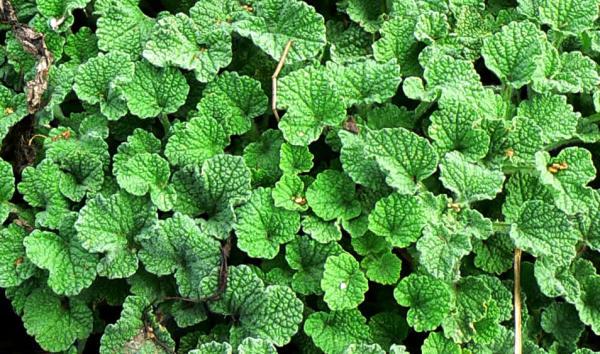 230-plantas-medicinales-mas-efectivas-y-sus-usos-marrubio-blanco-planta