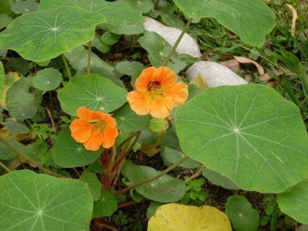 230-plantas-medicinales-mas-efectivas-y-sus-usos-mastuerzo-lapidium