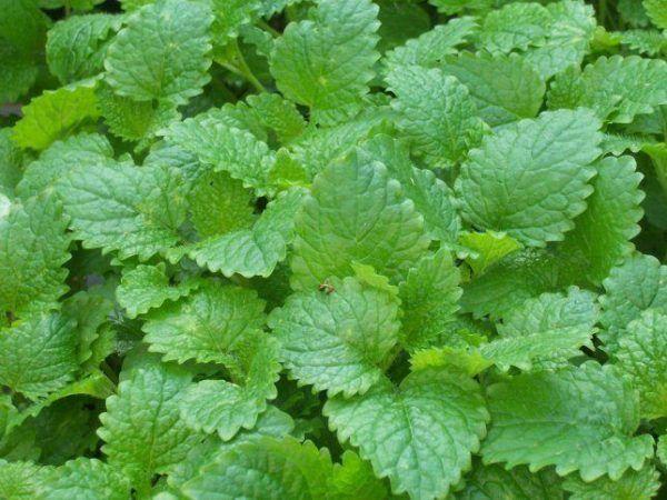 230-plantas-medicinales-mas-efectivas-y-sus-usos-melisa-hojas