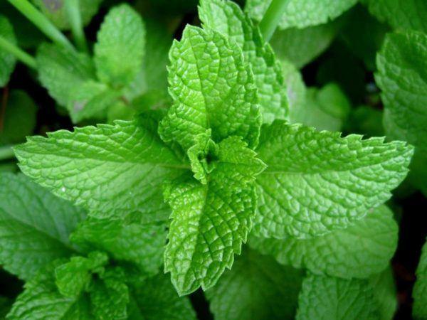 230-plantas-medicinales-mas-efectivas-y-sus-usos-menta-piperita