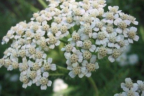 230-plantas-medicinales-mas-efectivas-y-sus-usos-milenrama-flor