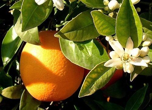 230-plantas-medicinales-mas-efectivas-y-sus-usos-naranjo-hojas