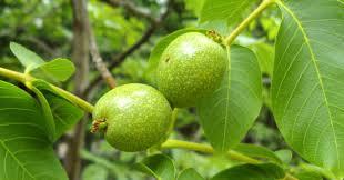 230-plantas-medicinales-mas-efectivas-y-sus-usos-nogal-hojas
