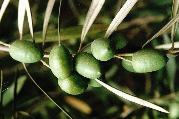 230-plantas-medicinales-mas-efectivas-y-sus-usos-olivo-hojas