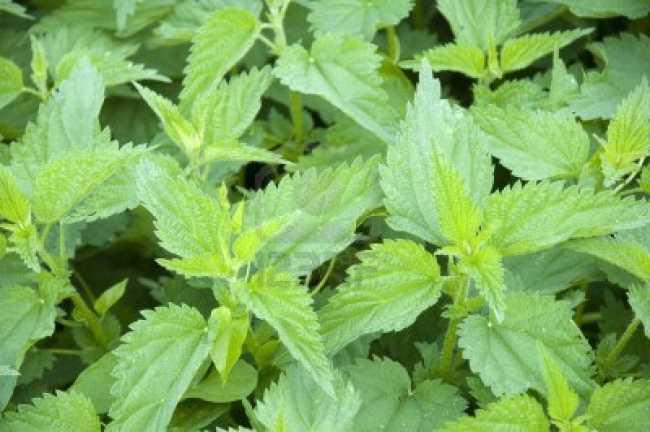 230-plantas-medicinales-mas-efectivas-y-sus-usos-ortiga-verde-hojas