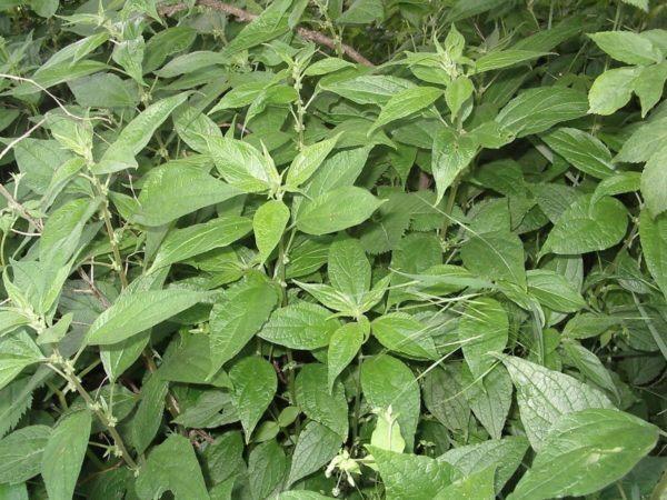230-plantas-medicinales-mas-efectivas-y-sus-usos-parietaria-planta