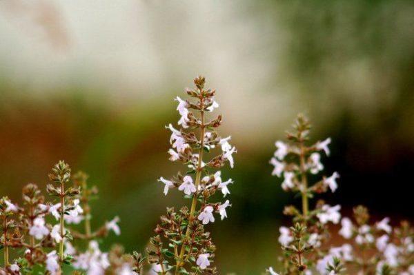 230-plantas-medicinales-mas-efectivas-y-sus-usos-pebrella-hojas