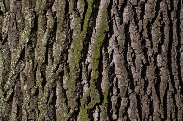230-plantas-medicinales-mas-efectivas-y-sus-usos-roble-corteza