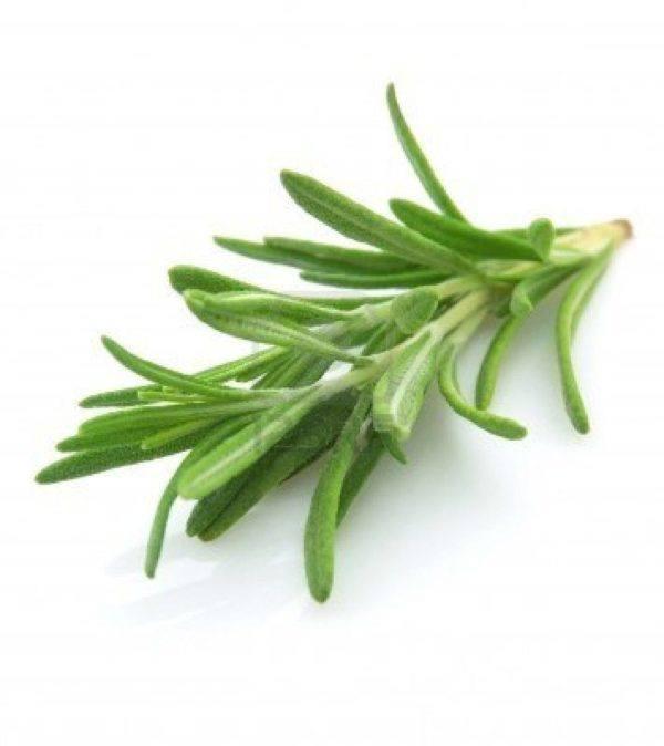 230-plantas-medicinales-mas-efectivas-y-sus-usos-romero-hojas